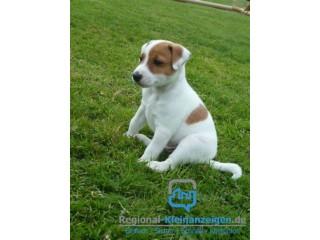Schöne zu Hause trainierte Jack Russell Terrier Welpen