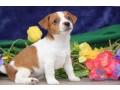 entzuckender-jack-russell-terrier-welpen-small-1