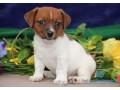 entzuckender-jack-russell-terrier-welpen-small-0