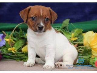 Entzückender Jack Russell Terrier Welpen