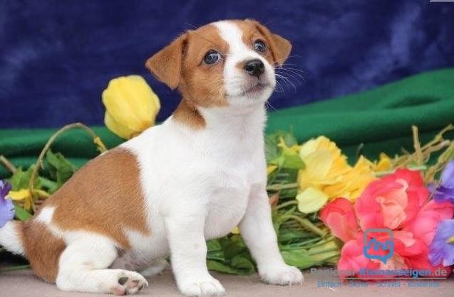 entzuckender-jack-russell-terrier-welpen-big-1