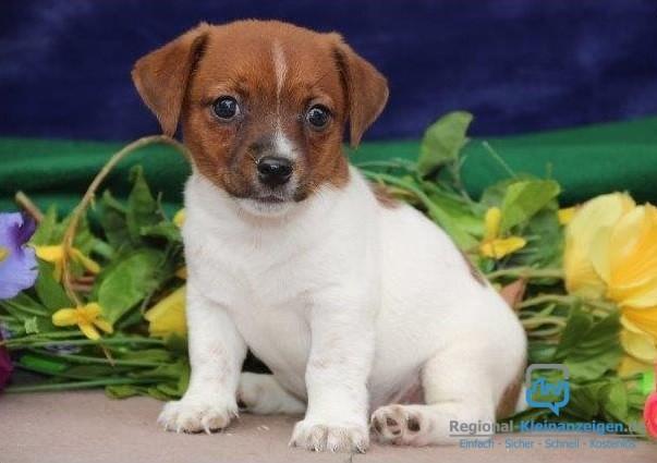 entzuckender-jack-russell-terrier-welpen-big-0