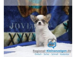 Wunderschöne Reinrassige Chihuahua  mit Papieren!