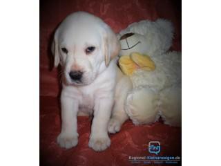 Schöne reinrassige Labrador Retriever Welpen mit Papieren!