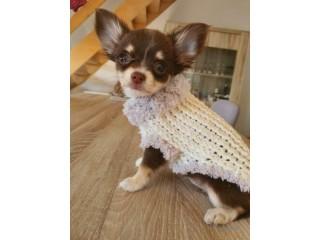 Chihuahua Welpen drei Weibchen